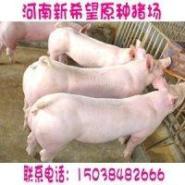 大约克种猪价格大约克公猪价格图片