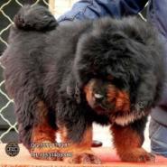 江门买藏獒犬江门哪里有卖藏獒犬图片
