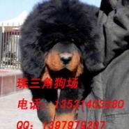 广州哪里藏獒犬好不好养图片