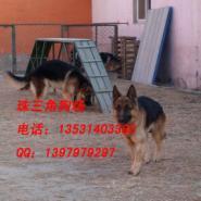 深圳哪里有卖德牧犬纯种德牧图片图片