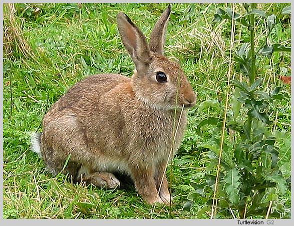 下夹子捕野兔秘绝图片_野兔图片_野兔夹子图片_野兔套图片_鹊桥吧