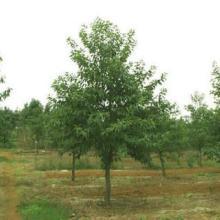 供应山苍子树