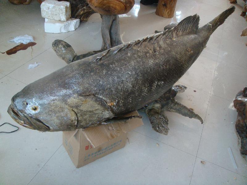 石斑鱼标本图片大全图片