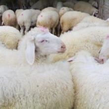供应青山羊