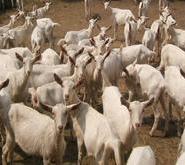 波尔山羊养殖效益分析图片