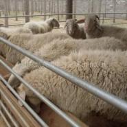 波尔山羊养殖利润分析图片