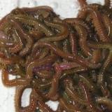 供应优质小型沙蚕OR牙签蚕