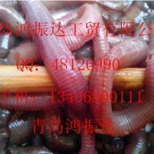 优质海钓饵红虫