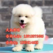 广州纯种萨摩耶多少钱图片