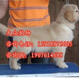 黄埔区哪里有卖金毛犬图片