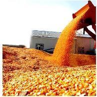 供应东北玉米批发