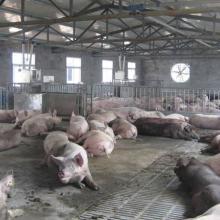 供应母猪智能化精确饲喂设备