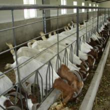 波尔山羊种羊多少钱