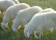 小尾寒羊当年羔快速育肥法图片