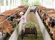 改良肉牛犊纯种波尔山羊杂交肉牛羊图片