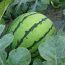 陕西大荔西瓜基地西瓜品种西瓜价格西瓜油桃供应商鲜果专业合作社图片