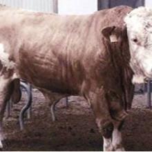 山东德旺牧业肉牛肉羊养殖场常年对外出售各种肉牛批发