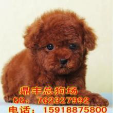广州哪里有卖泰迪熊 广州哪里有卖宠物狗