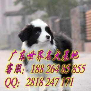 广州哪里有卖边境牧羊犬图片