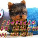 供应广州哪里有卖约克夏 买狗首选信誉好的名虹狗场