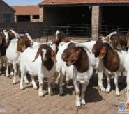 波尔山羊最低图片