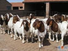 波尔山羊图片