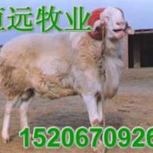 供应绵羊品种一头肉驴苗多白山羊价格s批发