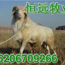 供应白山羊苗价格多少钱一只鲁严发批发