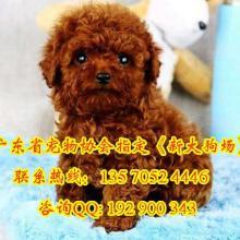 供应泰迪熊广州哪有宠物狗卖广州泰迪犬价格广州哪有泰迪犬卖