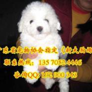 广州比熊犬价格图片