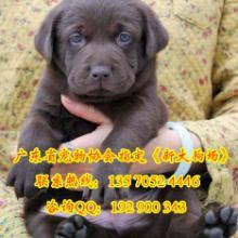 供应购犬送狗狗用品专业出售拉布拉多犬包纯种健康签协议图片