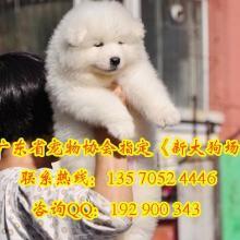 供应出售纯种萨摩耶幼犬品相好健康有保障 可签购犬协议疫苗做完图片
