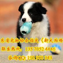 供应购犬送狗狗用品专业出售边境牧羊犬包纯种健康签协议
