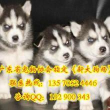 供应广州哪里有卖纯种阿拉斯加犬,萨摩耶犬,哈士奇幼犬图片