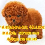 泰迪熊幼犬图片