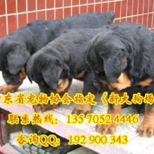 供应 广州罗威纳狗狗买卖广州宠物狗罗威纳 广州罗威纳