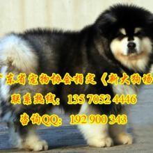 供应购犬送狗狗用品专业繁殖出售阿拉斯加幼犬包纯种健康签协议