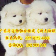 供应广州哪哪里有卖纯白色宠物狗有几种 萨摩耶图片广州哪里有卖萨摩耶新