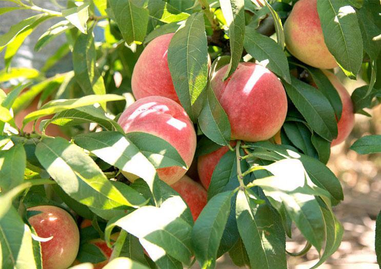 水蜜桃施用有机肥的方法