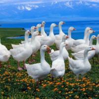 脱温鹅雏、供应鹅苗孵化场出售莱茵鹅鹅苗