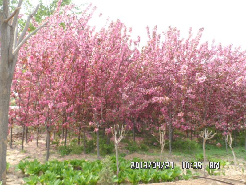 日本樱花图片|日本樱花样板图|日本樱花 定州诚