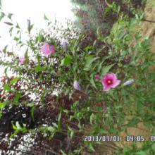 供应木槿丛生木槿独干木槿保定木槿图片