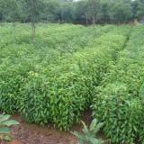 供应广西緑化苗木基地-优质香樟苗