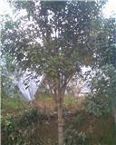 供应广西精品桂花树