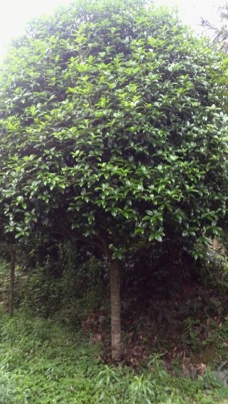 供应桂花树种植广西八月桂价格