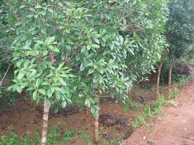 供应广西2-4公分桂花树