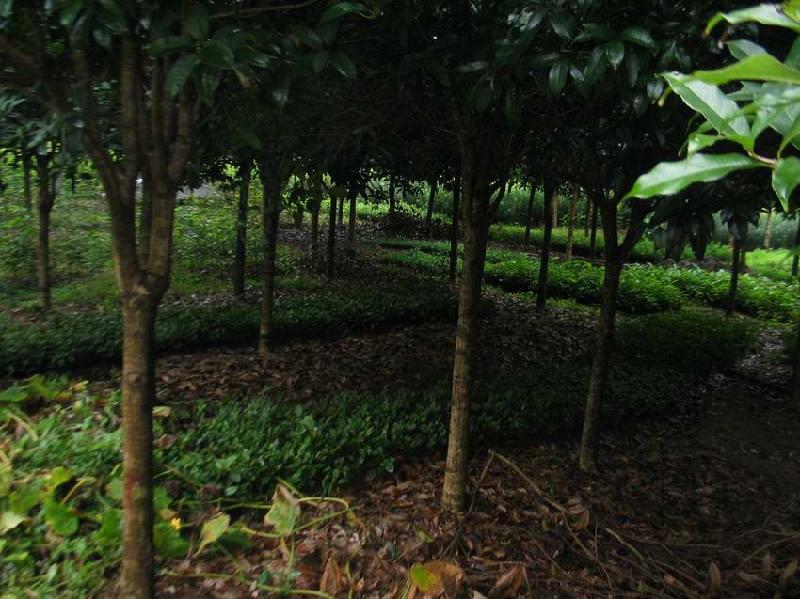 供应广西八月桂花树供应,桂花树特价直销,桂花树供应基地