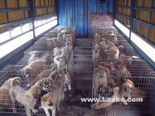 供应出售肉狗崽格力犬灵缇比特藏獒批发