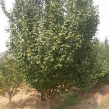 供应平顶海棠树