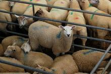 牛羊驴小尾寒羊波尔山羊养殖技术西图片
